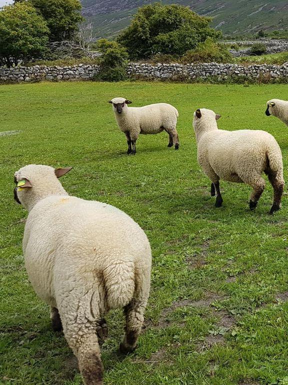 Shropshire Ewe & Ram Lambs