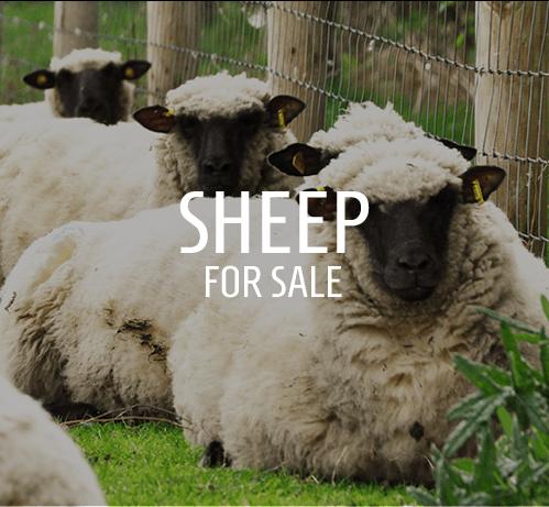 Shropshire Sheep Ireland - Home